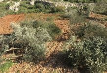 Lahan Pertanian warga Palestina digusur Israel